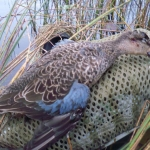 Blue-winged Teal <br><i>Anas discors</i>