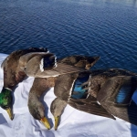 Mallard/Black Duck Hybrid